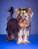 Young Yorkshire Terrier standing — Stock Photo