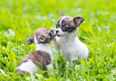 Two small chihuahua puppies — Stock Photo