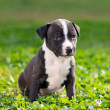 Royalty-Free Stock Photo: American Staffordshire terrier puppy