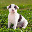 American Staffordshire terrier puppy — Stock Photo #13314772