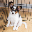 Stock Photo: Puppy papillon in cage