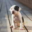 American Staffordshire terrier puppy — Stock Photo #13473799