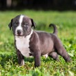American Staffordshire terrier puppy — Stock Photo #13473815