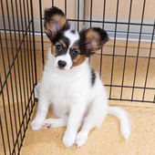 Puppy papillon in cage — Stock Photo