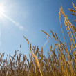 Royalty-Free Stock Photo: Ears of wheat against the blue sky