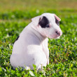 American Staffordshire terrier puppy — Stock Photo #13941637