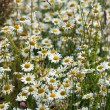 Camomile field - Stock Photo