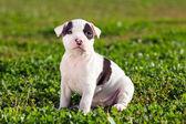 American staffordshire terrier welpen — Stockfoto