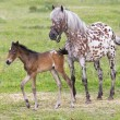 Foal with a mare — Stock Photo