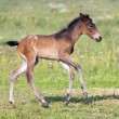 Royalty-Free Stock Photo: Nice little foal running on pasture
