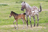 Foal with a mare — Photo