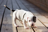 American Staffordshire terrier puppy — Stock Photo