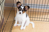 Puppy papillon in cage — Foto de Stock