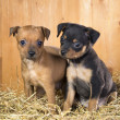 Two Russian Toy Terrier puppies - Stock Photo