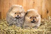 Due cucciolo pomerania su una cannuccia — Foto Stock