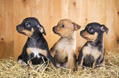 Three Russian Toy Terrier puppies — Stock Photo