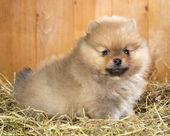 Pomeranian puppy on a straw — Stock Photo