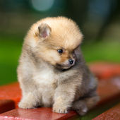Little fluffy Pomeranian puppy — Stock Photo