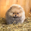 Pomeranian puppy on a straw - Stock Photo
