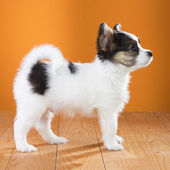 Papillon Puppy standing — Stock Photo