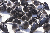 Group of pigeons — Stock Photo