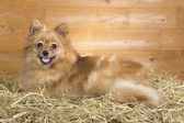 Pomeranian on a straw — Stockfoto