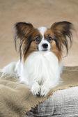 Portrait de papillon de races de chien — Photo