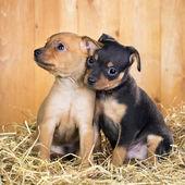 İki rus oyuncak terrier yavruları — Stok fotoğraf