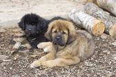 Dwa szczeniaki mastifa tybetańskiego — Zdjęcie stockowe