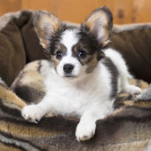 Papillon Puppy in bed — Stock Photo