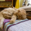 Stock Photo: Red cat sleeping inside a house on bench
