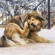Stockfoto: Dog Scratching Flea
