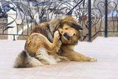 Hond krassen vlo — Stockfoto