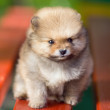 Beautyful fluffy Pomeranian puppy — Stock Photo
