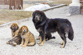 Dog breed Tibetan Mastiff with puppies — Stock Photo