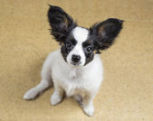 Cute Puppy Papillon sitting — Stock Photo