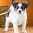 Papillon Puppy on a orange background — Stock Photo