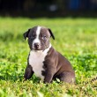American Staffordshire terrier puppy — Stock Photo #25289405