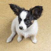 可爱的小狗巴比龙 — 图库照片