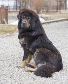 Tibetli mastiff — Stok fotoğraf