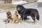 Pies rasy mastif tybetański ze szczeniakami — Zdjęcie stockowe