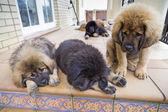 Mastif tybetański szczenięta — Zdjęcie stockowe