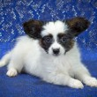 Papillon Puppy — Foto Stock