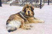 Leżącego mastif tybetański — Zdjęcie stockowe