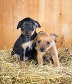 Dos cachorros de terrier de juguete ruso — Foto de Stock