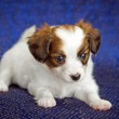 Papillon Puppy — Foto de Stock