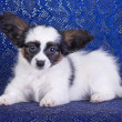 Papillon Puppy — Stock Photo