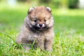 Pomeranian puppy — Stock Photo