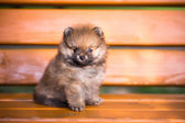 Pomeranian puppy on a bench — Stock Photo