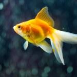 Fantail Goldfish — Stock Photo